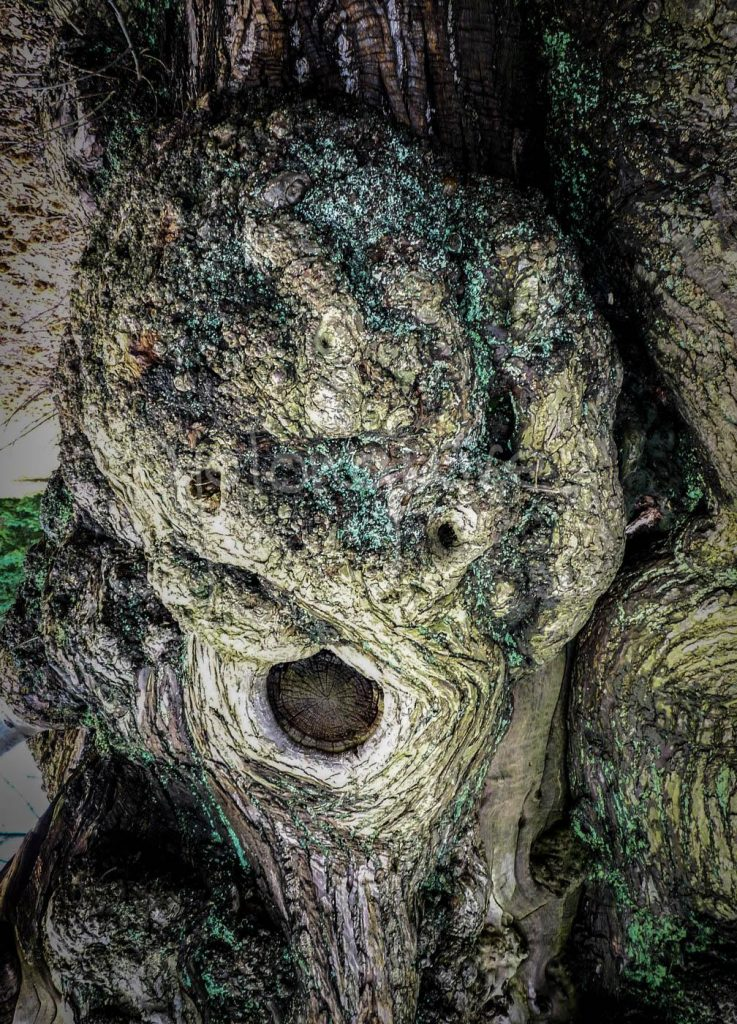 Tree Face 2 (The Scream)