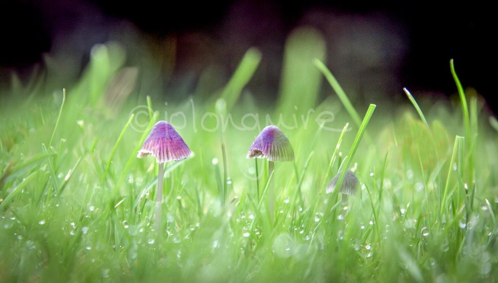 Toadstools in the Dew