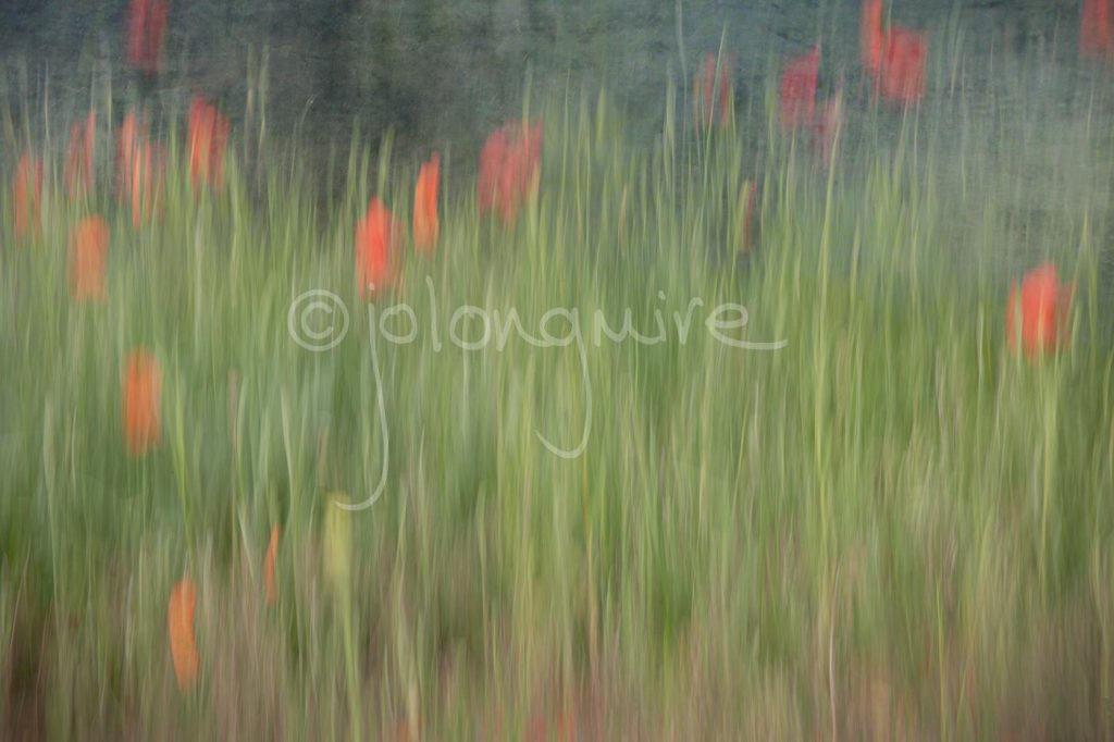 Poppy field v1